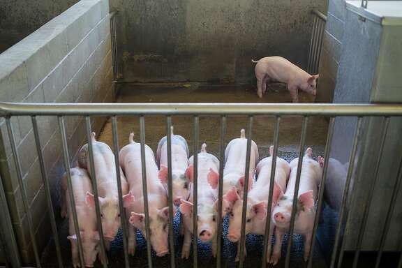 Gilts, young female pigs that have yet to give birth, gather in a pen at the UC Davis Animal Science Swine Center in Davis on Friday, July 14, 2017.