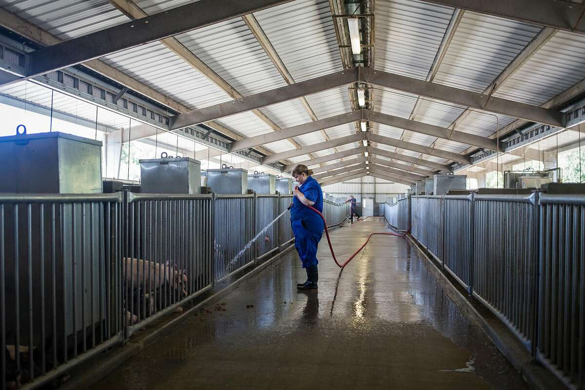 Josie Bradshaw, student resident, rinses Gilts, young female pigs that have yet to give birth, in a pen at the UC Davis Animal Science Swine Center in Davis on Friday, July 14, 2017.