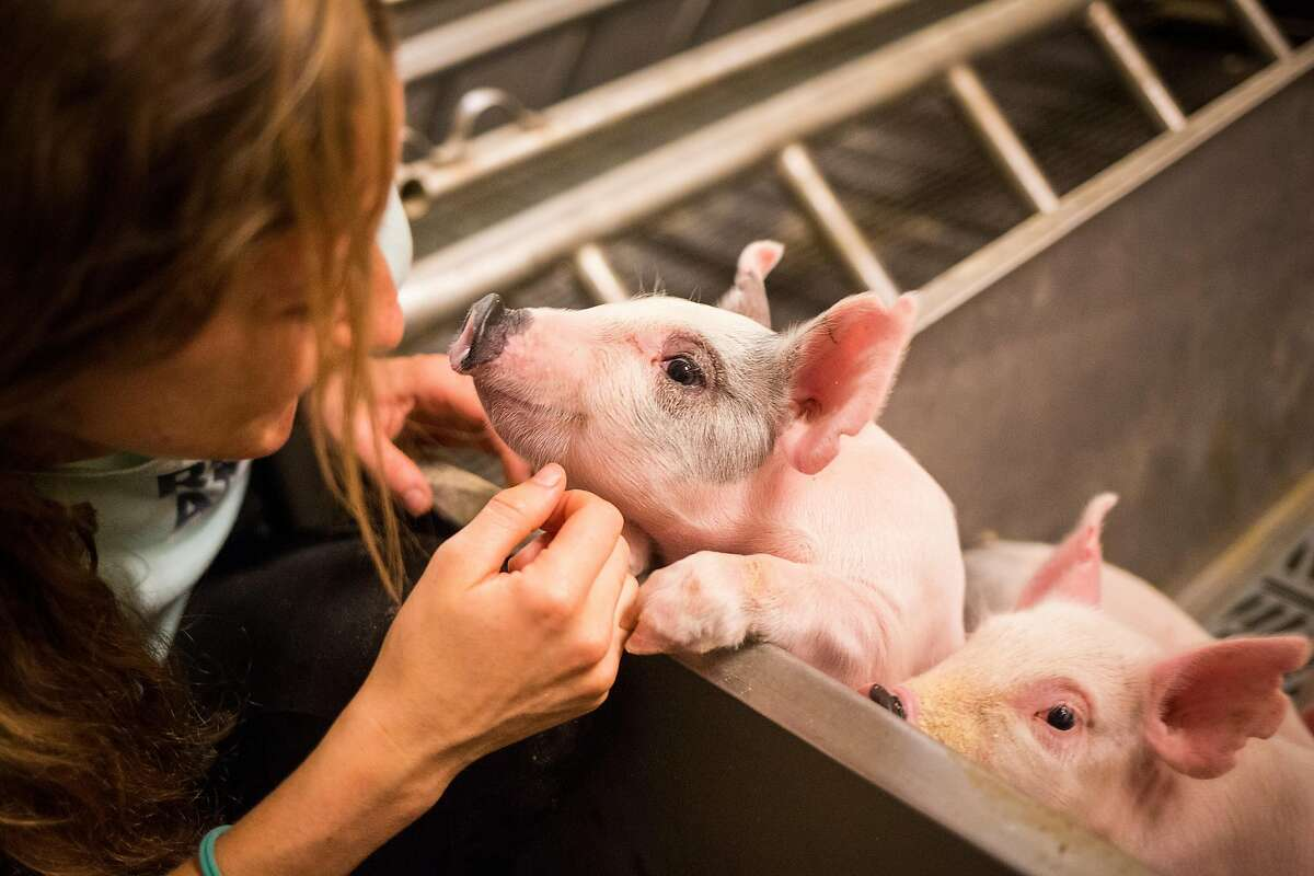 Maggie Creamer, lab manager, plays with a piglet in the farrow room at the UC Davis Animal Science Swine Center in Davis on Friday, July 14, 2017.