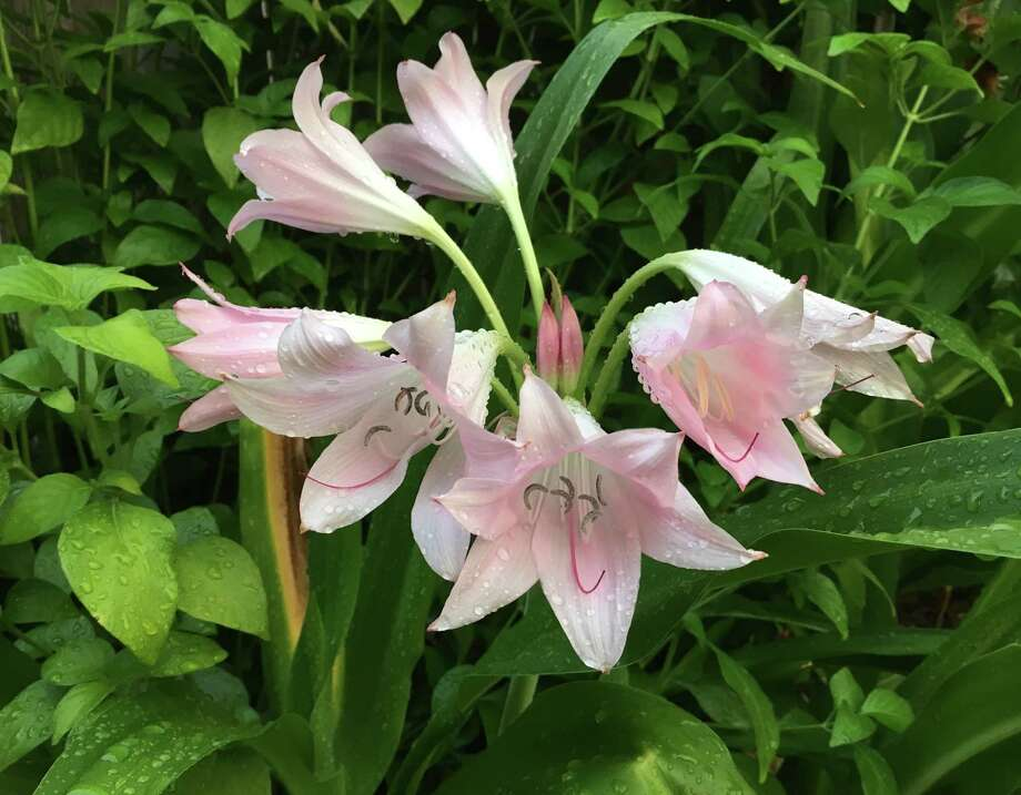 Tommy Kelly shot these rain lilies after a rain shower. Photo: Tommy Kelly
