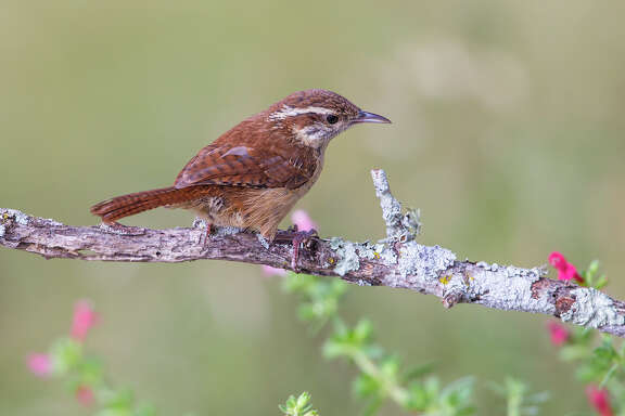 Carolina wrens form lifelong mating pairs that raise three or more broods from spring through summer.