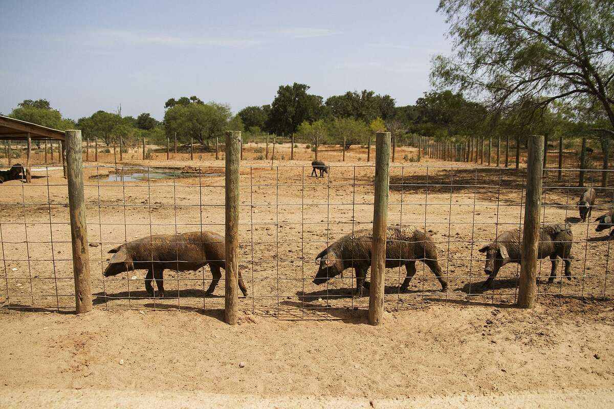 Ibericus pigs love to get plenty of exercise, walking as many as 25 miles per day at their 297-acre home of Acornseekers Farm just west of Flatonia.