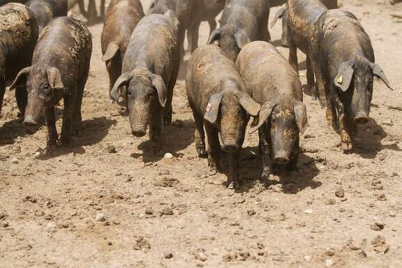 The Ibericus pigs at the Acornseekers Farm are pure-bred descendents of the ancient line of Ibérico pigs that date back more than 4,000 years.
