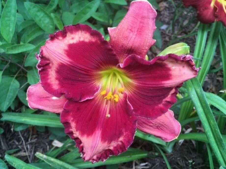 Marilyn Eickenhorst'sLouisiana irises and daylilies love the sun. Photo: Marilyn Eickenhorst