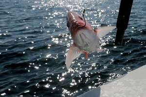 A red snapper is pulled out of the gulf during the three-day red snapper season on Saturday, June 3, 2017 in the Gulf of Mexico.