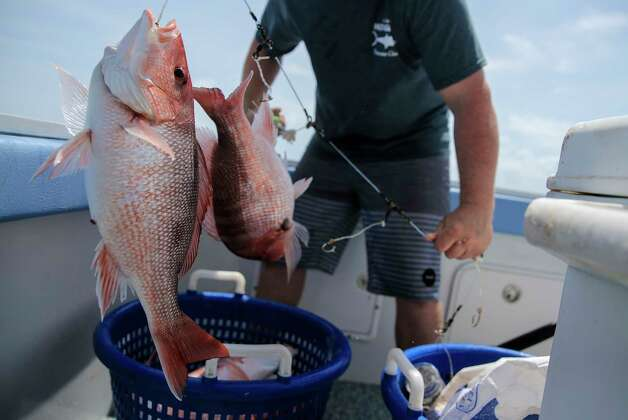 Buddy Guindon's son, Hans, pulls out red snapper on a line of hooks in the gulf on Wednesday, May 31, 2017, in Galveston. Photo: Elizabeth Conley, Houston Chronicle / © 2017 Houston Chronicle