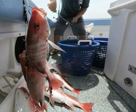 Buddy Guindon's son Hans pulls out red snapper on a line of hooks in the gulf on Wednesday, May 31, 2017, in Galveston. Photo: Elizabeth Conley, Houston Chronicle / © 2017 Houston Chronicle
