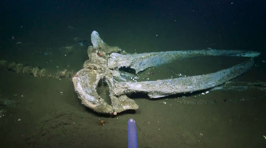 When a whale dies and sinks to the seafloor, the carcass of the cetacean introduces an extra food source into the ecosystem that can support communities of life for years after the whale has perished.