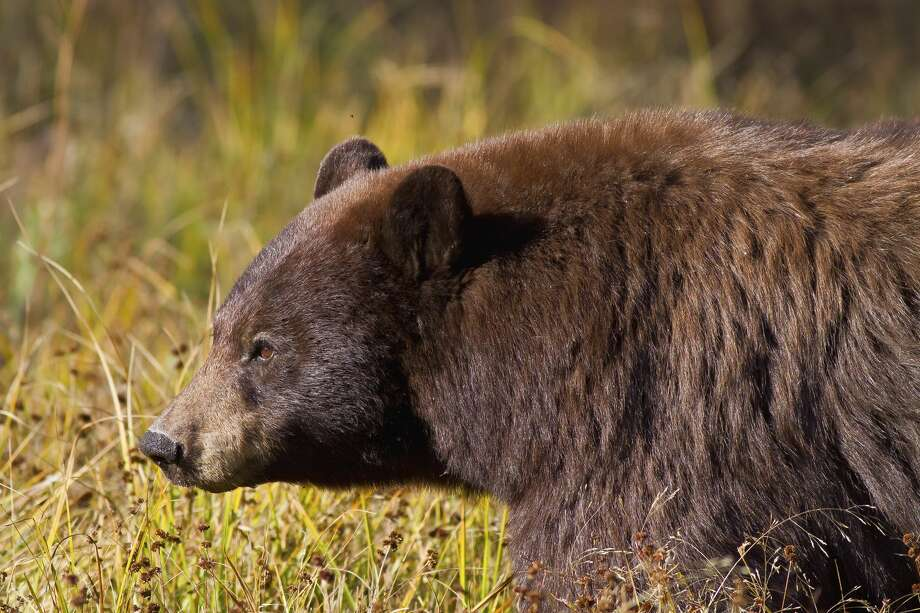 A 71-year-old man survived a brown bear mauling on a Kodiak trail Sunday, officials said. Photo: Bryant Aardema -bryants Wildlife Images/Getty Images
