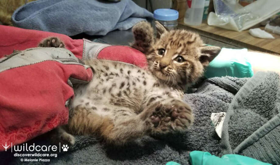 This bobcat kitten was found alone on a busy Marin County hiking trail. It was brought to San Rafael WildCare to recover and will be released in the fall. Photo: WildCare