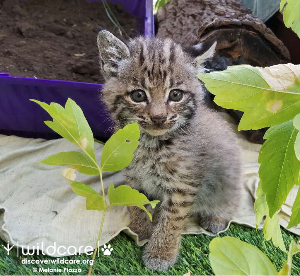 Rarely seen solo bobcat kitten rescued by hiker near Sausalito