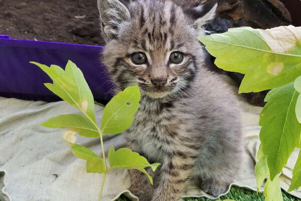 This bobcat kitten was found alone on a busy Marin County hiking trail. It was brought to San Rafael WildCare to recover and will be released in the fall.