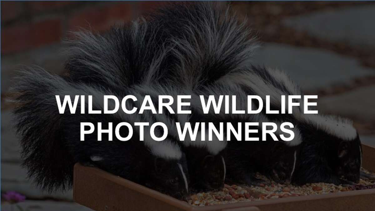 In hopes of spreading that spirit of conservation to the whole community, WildCare, of San Rafael, hosts an annual Living With Nature Photography Contest. Amateur photographers compete in four categories which highlight local birds, animals, landscapes and interactions with the human world. Here are the 2016 winners.