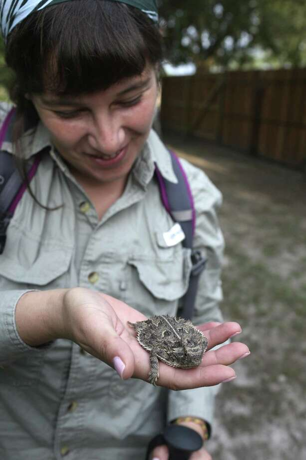 Daniella Biffi, researcher from Texas Christian University handles a Texas horned lizard after catching it in Karnes City, Texas, Monday, July 31, 2017. Researchers from TCU led by Department of Biology Associate Professor Dean Williams, have been studying the horned lizard population in Karnes County. The lizards are measured, weight and microchip before they're released. Photo: JERRY LARA / San Antonio Express-News / San Antonio Express-News