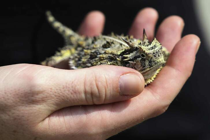 Texas Christian University grad student Rachel Alenius holds a female Texas horned lizard in Karnes City.