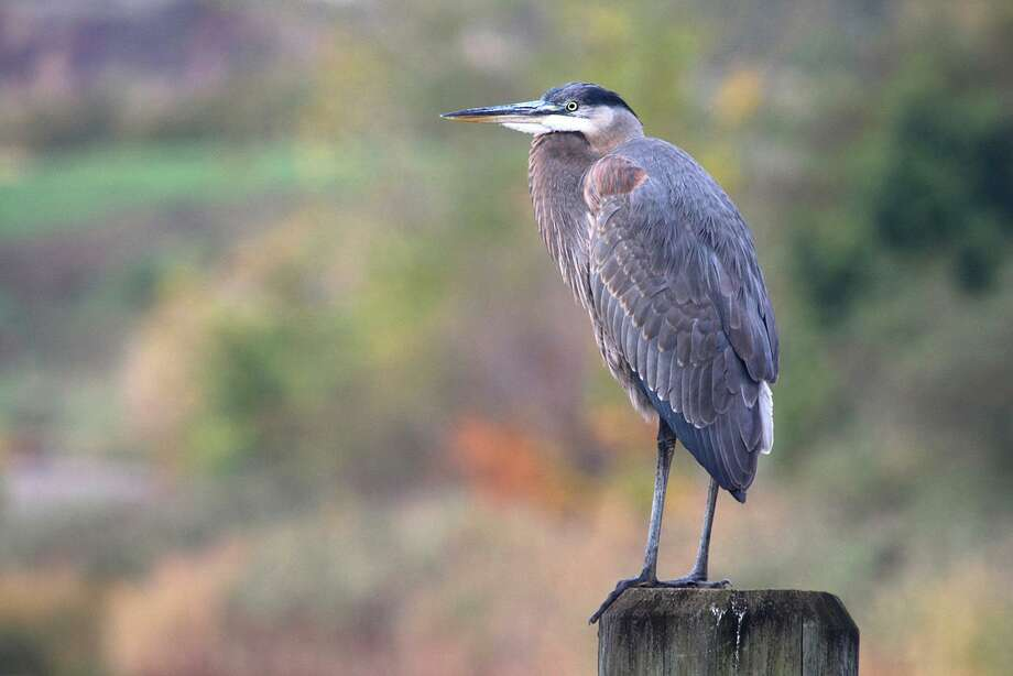 A great blue heron rests on a piling in the Norwalk River in Norwalk. Photo: Chris Bosak / Hearst Connecticut Media / The News-Times