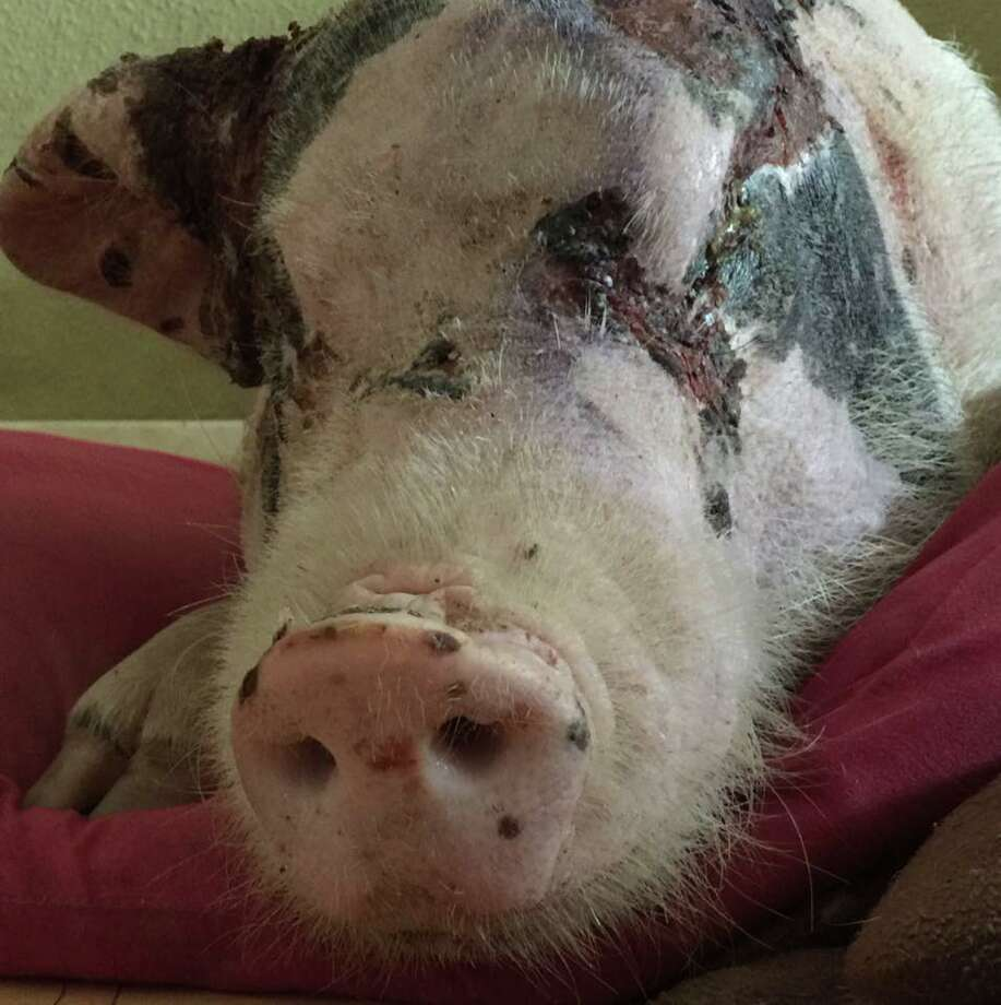 Jude the pigJude was recently rescued by Houston Mini Pig Rescue & Network. The animal rescue group said the animal was abused and used as practice for dog fighting.Click through to see more pictures of Jude and its recovery.