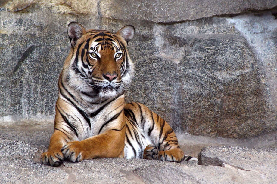 Tinder has asked users to stop posting photos of themselves posing with tigers.  Photo: Getty Images / This content is subject to copyright.