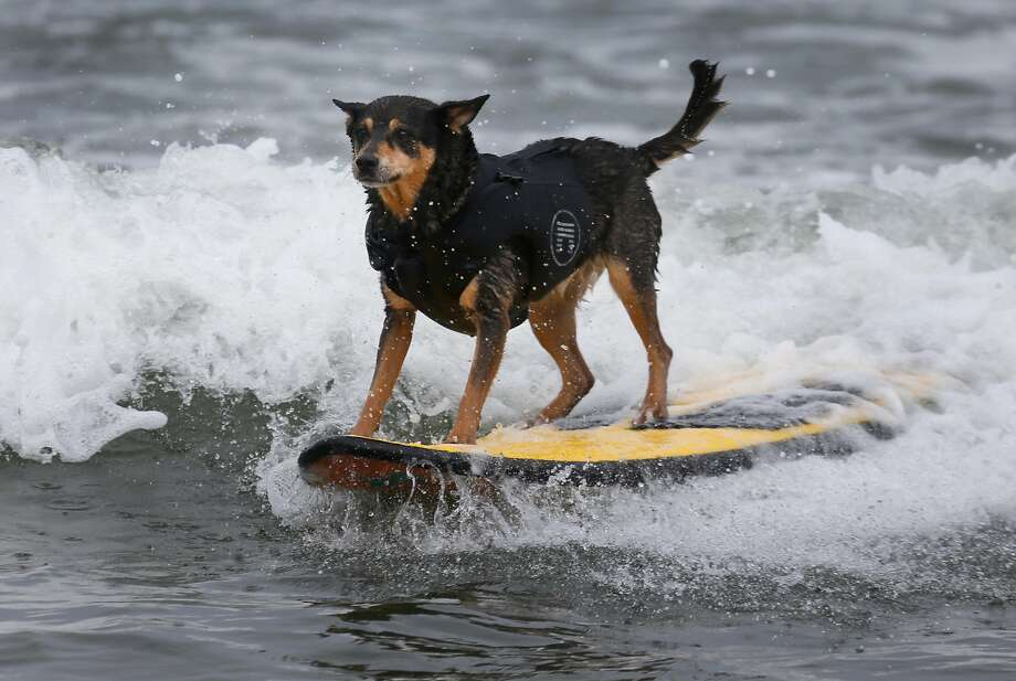 Abbie rides a wave all the way to the beach during the Northern California division of the World Dog Surfing Championships at Linda Mar Beach in Pacifica, Calif. on Saturday, Aug. 5, 2017. Photo: Paul Chinn, The Chronicle