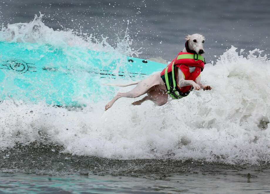 Beans ditches her surfboard after a rough ride during the Northern California division of the World Dog Surfing Championships at Linda Mar Beach in Pacifica, Calif. on Saturday, Aug. 5, 2017. Photo: Paul Chinn, The Chronicle