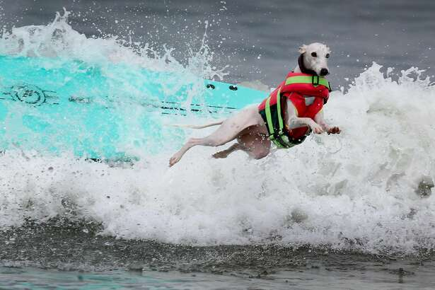 Beans ditches her surfboard after a rough ride during the Northern California division of the World Dog Surfing Championships at Linda Mar Beach in Pacifica, Calif. on Saturday, Aug. 5, 2017.
