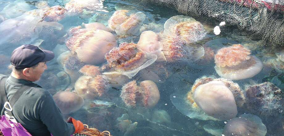 Many Japanese fishermen have grappled with nets clogged by increased numbers of Nemopilema nomurai jellyfish.