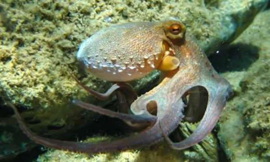 El Octopus Vulgaris o pulpo común es un animal que forma parte de las nuevas especies que han llegado al Acuario de Nuevo Laredo, México y que podrá ser admirado por los visitantes a este recinto. Photo: Foto De Cortesía|Gobierno De Nuevo Laredo
