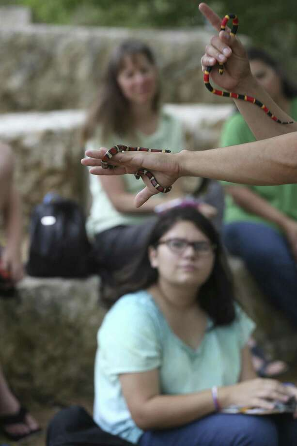 Mitchell Lake Audubon Center's Conservation and Operations Manager Gilbert Martinez holds a Milk snake, left, and a fake coral snake during a snake safety class, Sunday, August 6, 2017. Photo: JERRY LARA / San Antonio Express-News / San Antonio Express-News