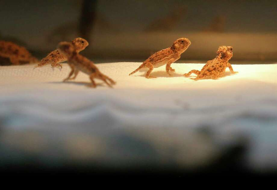 Young horned toads roam in their container at the San Antonio Zoo, which is embarking on a horned toad breeding program that the zoo hopes will lead to reintroduction of the threatened species down the road. Photo: Kin Man Hui, Staff / ©2017 San Antonio Express-News