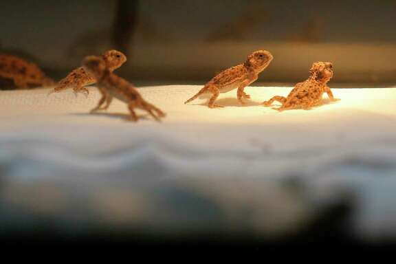 Young horned toads roam in their container at the San Antonio Zoo, which is embarking on a horned toad breeding program that the zoo hopes will lead to reintroduction of the threatened species down the road.