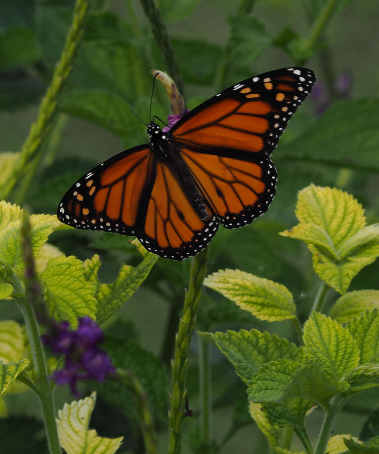 Monarch butterfly visits a porterweed. Photo: Judy McCarter, For The Express-News