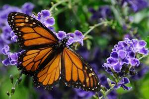 FILE - In this April 26, 2015 file photo, a monarch butterfly feeds on a duranta flower in Houston. Six states and the Federal Highway Administration signed an agreement Thursday, May 26, 2016, to make Interstate 35 roadsides more conducive to bees and butterflies by integrating plants that provide refuge and food for the pollinators in hopes of helping them recover from declining populations. (AP Photo/Pat Sullivan,File)