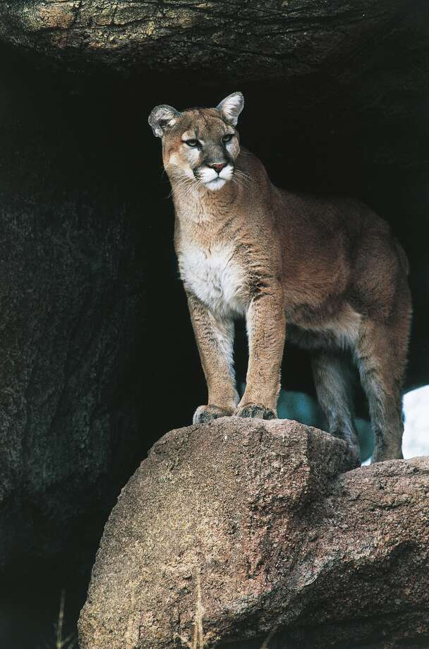 A mountain lion. Click through the gallery for a history of the big cats in California.