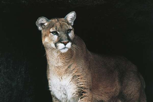 UNSPECIFIED - MARCH 03: Mountain Lion, Puma or Cougar (Puma concolor), Felidae. (Photo by DeAgostini/Getty Images)