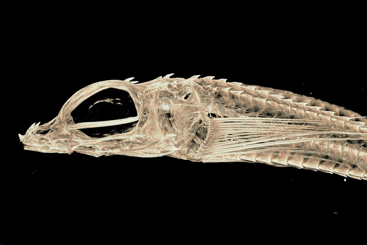 In this undated image provided by Adam Summers, a University of Washington professor in the department of Biology and the School of Aquatic and Fisheries Sciences, a scan of the Bathyagonus Pentacanthus species of fish, also known as the Bigeye Poacher, is shown. Summers is using a micro computed tomography, also known as