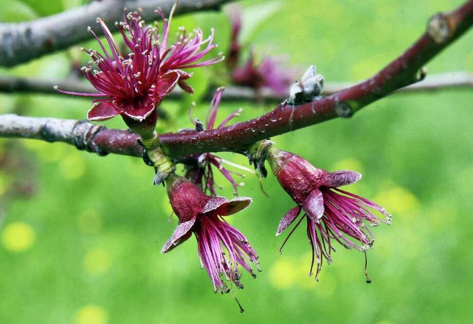 In this Tuesday, May 9, 2017 photo, blossoms pop open on peach trees at Smolak Farms in North Andover, Mass. Peach orchards across the region have come alive with pink blossoms, and if the weather holds out, it could be a bumper harvest. Last year, a Valentine's Day frost essentially destroyed the New England and New York crop. An April cold spell severely damaged the New Jersey crop. (AP Photo/Charles Krupa) Photo: AP / Copyright 2017 The Associated Press. All rights reserved.