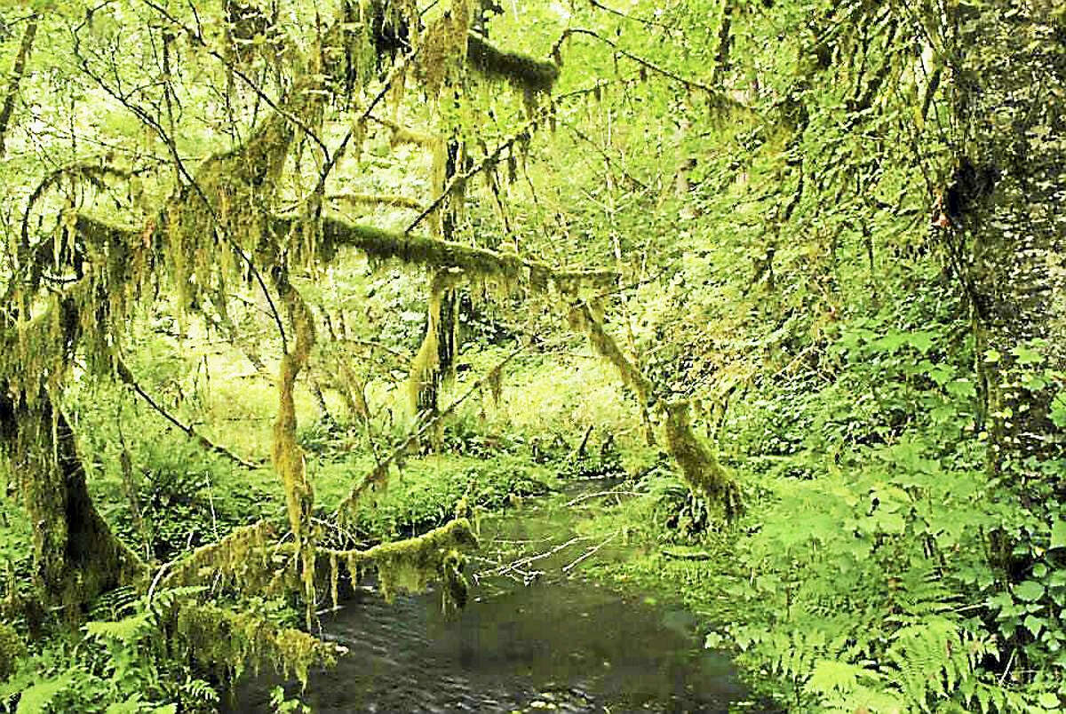 The Hoh Rainforest is a temperate rainforest in Olympic National Park in the northwest corner of Washington. (Matt Jones - Submitted Photo)