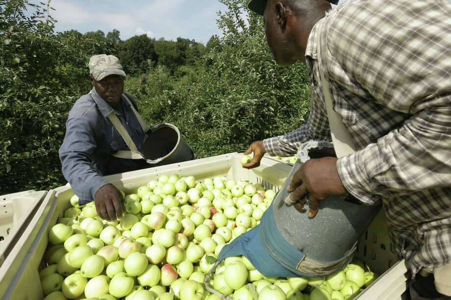 Workers Henry Wright, left, and Desmond Sappleton, right, both of Jamaica, deposit ginger gold apples into a wagon, Sunday, Aug. 30, 2015, at Carlson Orchards, in Harvard, Mass. As summer winds down in New England, apple-picking season is gearing up with growers forecasting a bumper crop. According to the U.S. Apple Association, the six-state harvest is expected to be about 14 percent higher than last year. (AP Photo/Steven Senne) Photo: AP / AP
