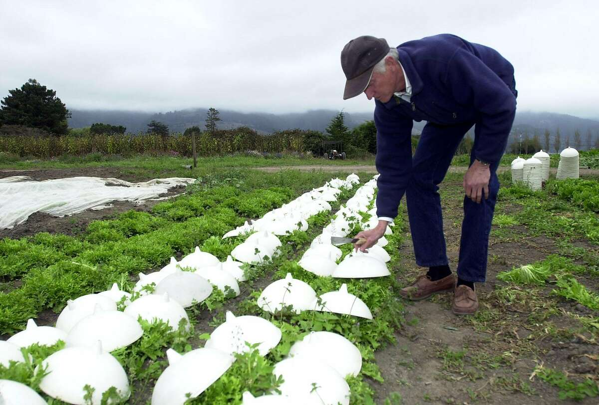Star Route Farms, the oldest certified organic farm in the state, has been purchased by USF. Here, its outgoing owner Warren Weber, known as the grandfather of organic, lifts up blanching cups to check on his chicory greens at his Star Route Farm in Bolinas in 2002.