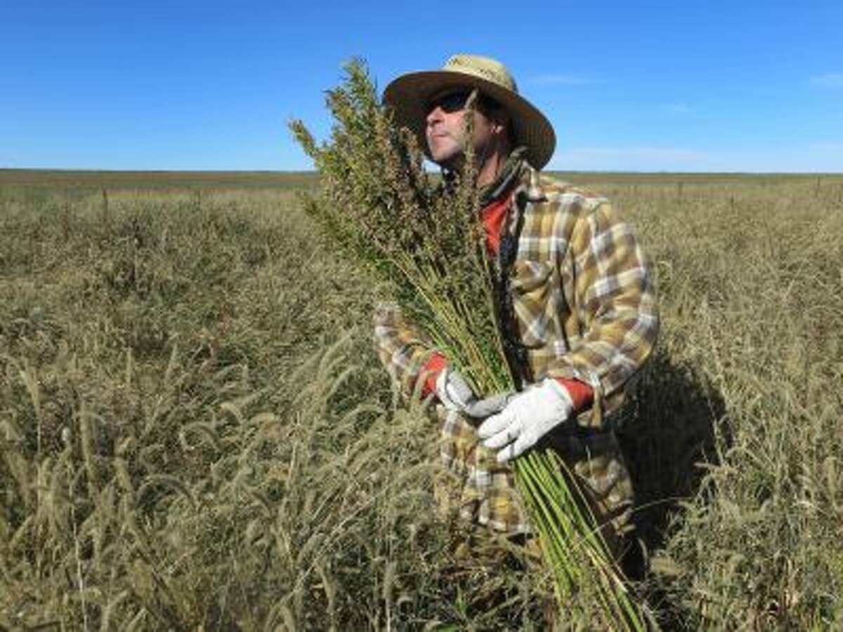 In this Oct. 5, 2013 photo, Derek Cross, a chef who specializes in cooking with hemp, helps harvest the plant in Springfield, Colo.