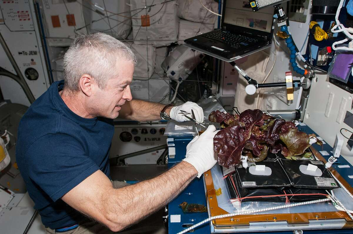 NASA astronaut Steve Swanson harvests a crop of red romaine lettuce plants that were grown from seed inside the station's Veggie facility.