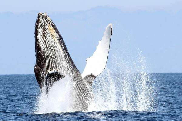 A humpback whale breaches offshore San Francisco on whale watching trip with Oceanic Society