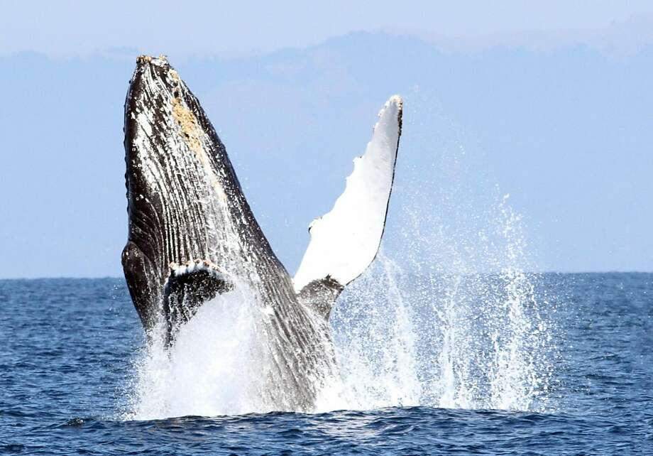 A humpback whale breaches offshore San Francisco on whale watching trip with Oceanic Society Photo: Tom Stienstra, Izzy Szczepaniak / Oceanic Society