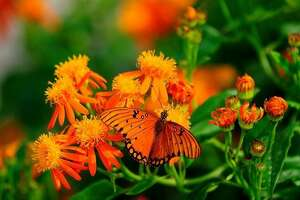 A Gulf Fritillary butterfly rests on a Mexican flame flower in the gardens of the National Butterfly Center in Mission.