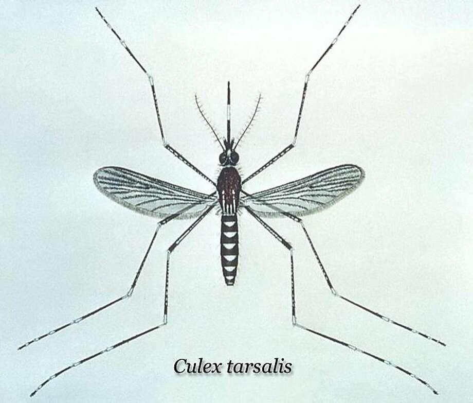 The culex mosquito, health officials say, is the species responsible for transmitting the West Nile virus from birds to humans. Photo: CDC