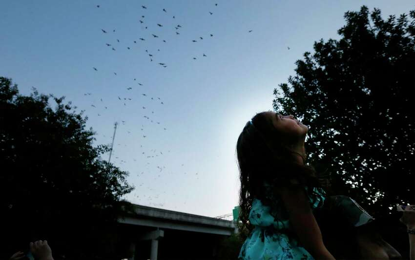 Avyanna Olivarez and her father Michael Chavez look up to see Mexican Free-tail bats take the dusk sky on Tuesday, Aug. 8, 2017. The San Antonio River Authority (SARA), Texas Parks and Wildlife Department (TPWD), and Bat Conservation International (BCI) hosted the 5th Annual Bat Loco Bash on Tuesday near Camden St. bridge on the Museum Reach segment of the San Antonio River Walk. The free, family-friendly event included a bat parade, educational booths, food trucks, live music and bat friends. The Bash is part of San Antonio's Kidcation Week which runs from August 5 through August 13. The public is invited to bring their chairs as SARA staff will lead the talk about the bat colony that currently resides under I-35 while sharing information related to the San Antonio River and the Museum Reach. Wildlife experts from TPWD and BCI will provide bat education and explain the important role bats have in the South Texas ecosystem.