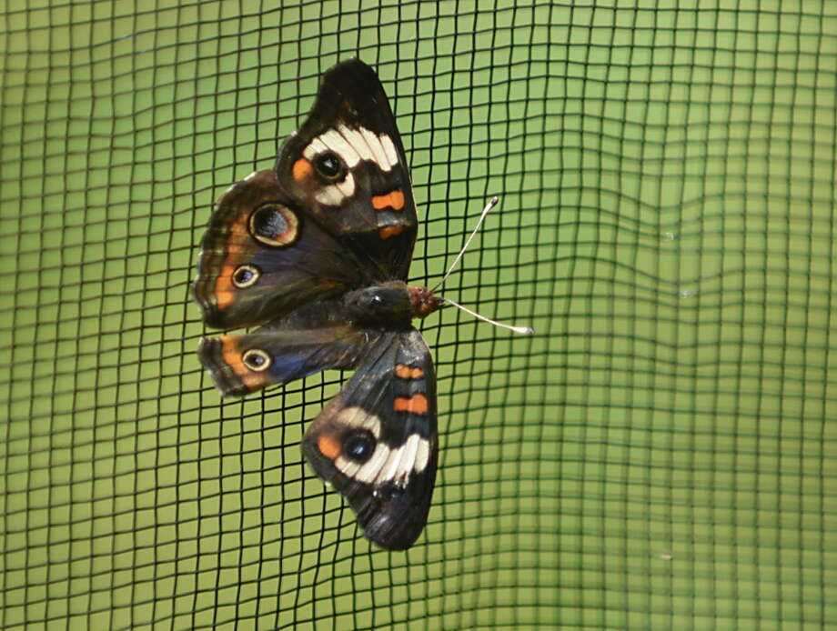 A buckeye butterfly is seen on the netting in the butterfly house and natural plant sanctuary at Farnsworth Middle School on Tuesday, Aug. 8, 2017 in Guilderland, N.Y. Educational tours were given inside classrooms, hallways and the butterfly house. (Lori Van Buren / Times Union) Photo: Lori Van Buren, Albany Times Union