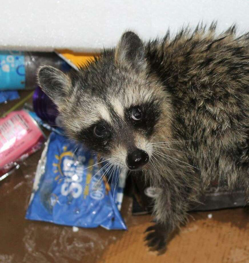 This is one of two young raccoons captured by San Antonio Animal Care Services as the animals were dumpster-diving behind a middle school on the Northeast Side on Monday, Aug. 7, 2017. Photo: Courtesy / ACS