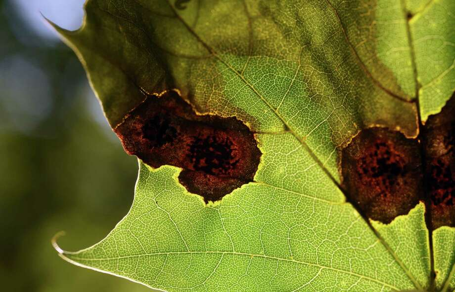 Fungus infection is visible on the leafs of a maple tree on Wednesday, Aug. 9, 2017, outside a Darroch Road home in Delmar, N.Y. (Will Waldron/Times Union) Photo: Will Waldron, Albany Times Union