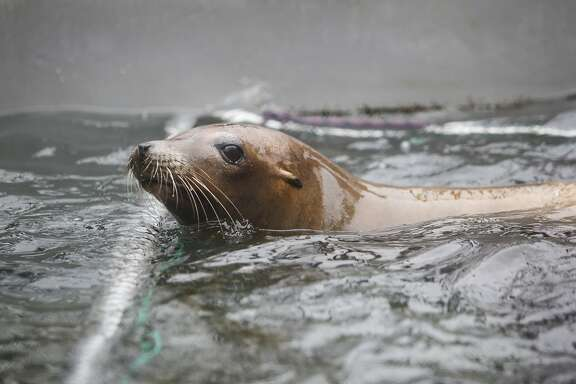 Dr. Cara Field, staff veterinarian, checks on Lysine, a California sea lion suffering from domoic acid poisoning, during a neuroscore exam to evaluate cognitive brain function at the Marine Mammal Center in Sausalito on Wednesday, August 9, 2017. Lysine's right eye was scratched likely due to rubbing it's face on sand during a seizure.